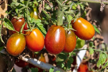 Ripe tomatoes on a plant in nature. Harvest in the garden. Banque d'images