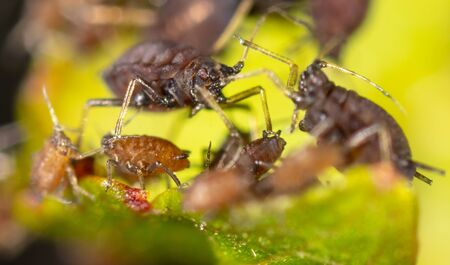 Aphids on a green leaf in nature. Macro Stock Photo