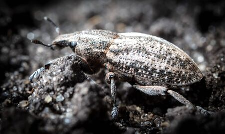 Close-up of a beetle on the ground in nature.