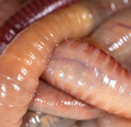 Live earthworms as a background. Macro Banque d'images