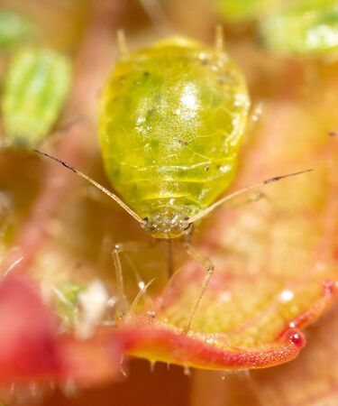 Close-up of aphids on a leaf of a tree. Macro