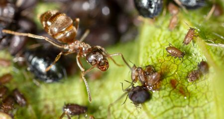 Ant collects milk on aphids in nature. Macro Foto de archivo