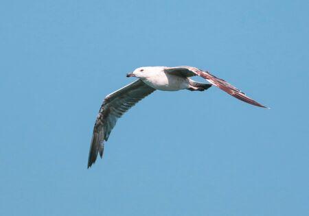 Seagull in flight against the blue sky. Bird