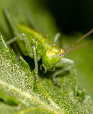 Grasshopper on a green leaf in nature. Close-up