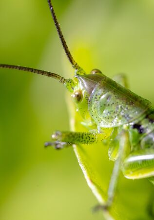 Green grasshopper in grassy vegetation. Nature insect