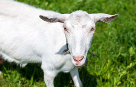 White goat grazes on the green grass at the farm.