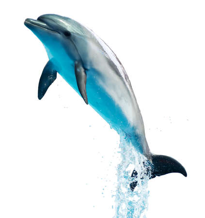 Dolphin is isolated on a white background. Mammal marine animal.