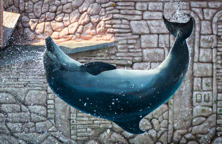 Dolphin swims and jumps in the pool. Mammal marine animal. Stock fotó