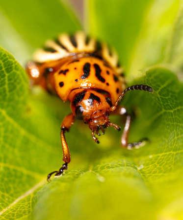 Colorado potato beetle on a green leaf in nature. Macro