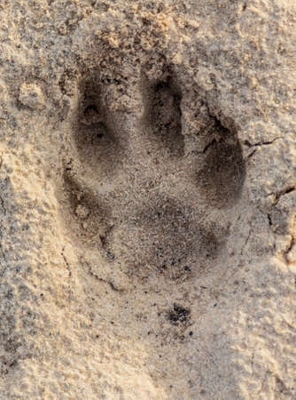 Close-up footprint of a dog on the ground as a background. Banque d'images