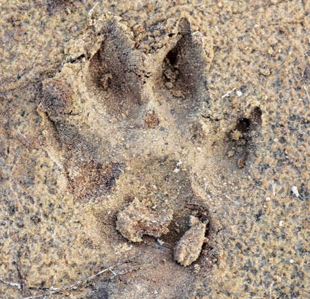 Close-up footprint of a dog on the ground as a background. Stock Photo
