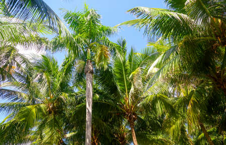 Large green branches on coconut trees against the sky in the tropics.