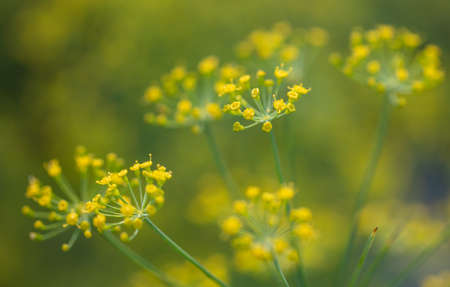 Yellow flowers on dill in the garden. Close-up