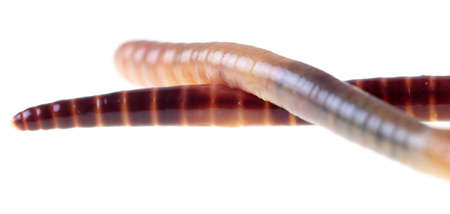 Earthworm isolated on a white background. Macro