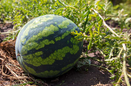 The watermelon lies on the ground. Harvest in the garden Stock fotó