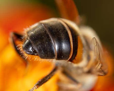 Close-up of a bee on a flower. Macro Standard-Bild
