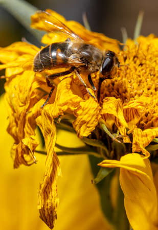 Close-up of a bee on a yellow flower. Macro