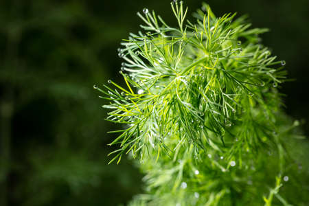 Close up of dill in a vegetable garden. Macro