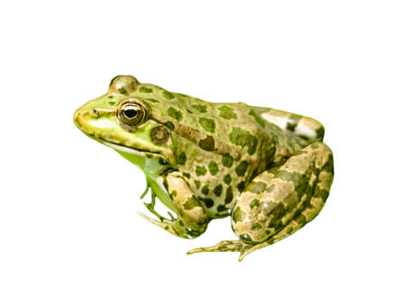 Green frog isolated on a white background. Close-up
