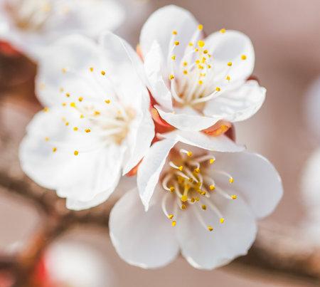 Beautiful apricot flowers in nature. Banco de Imagens - 167321827