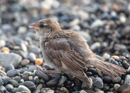 Sparrow on a pebble beach by the sea.