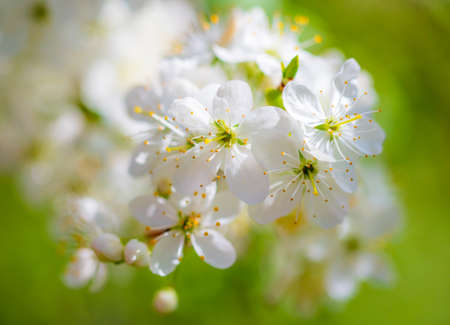 White flowers on a fruit tree on nature in spring. Banco de Imagens - 167320838