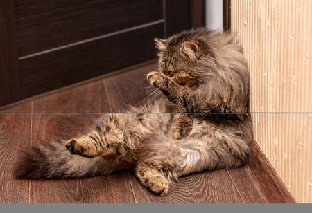 The cat washes himself with his tongue and paws. Banco de Imagens