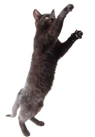 Black cat stands on two legs isolated on a white background.