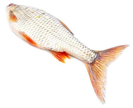 Redfin fish isolated on white background. Close-up