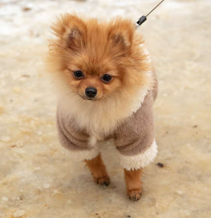 Portrait of a small dog in winter clothes.