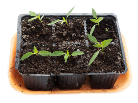 Bell pepper seedlings on a white background. Close-up
