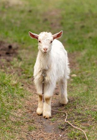 Portrait of a goat in the pasture. Animal Banco de Imagens