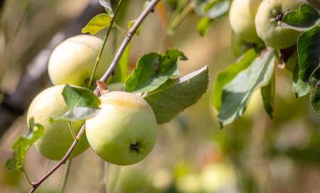 Ripe apples on a tree branch. Garden