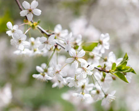 White flowers on a fruit tree on nature in spring.