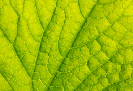 Close up of green leaf of plant as background. Macro