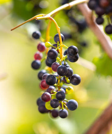 Black berries of grapes on a plant in a vegetable garden.