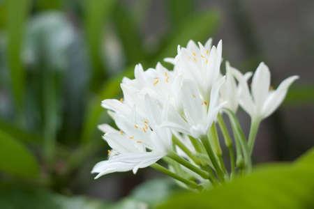 alocasia cucullata, white flower