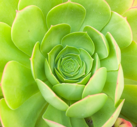green aeonium background photo