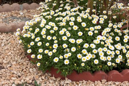 little white flowers in the garden Stock Photo - 14342738