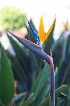 bird of paradise with orange and blue petal photo