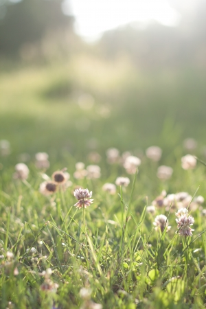 Green grass with flowers before sunset Stock Photo - 14342985