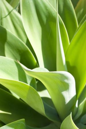 Luz y sombra en las hojas de la planta de agave en flor Foto de archivo