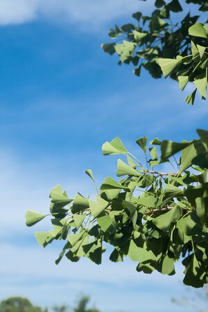 Ginkgo leaves with blue sky photo