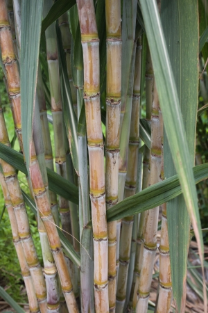 farmed: Sugar cane plant in Thailand