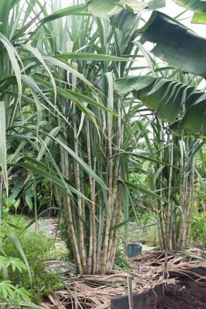 Planta de ca�a de az�car en Tailandia Foto de archivo