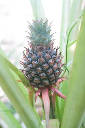 Baby pineapple tropical growing in a farm
