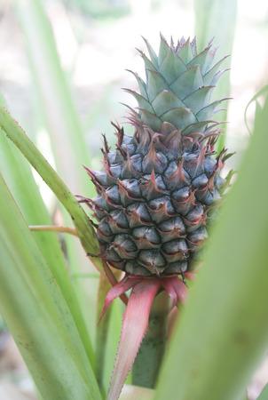 Pi�a beb� cultivo tropical en una granja