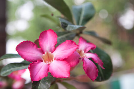 obesum: Very Pink Impala lily flowers blooming on tree