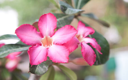 impala lily: Very Pink Impala lily flowers blooming on tree
