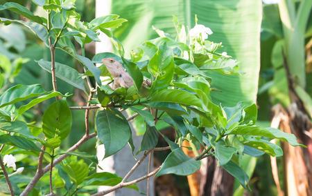 prin: lagarto cerca del jardín, oriantal lagarto jardín en la planta, jardín naturaleza Foto de archivo